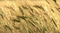 Ripe wheat swaying wind HD Footage