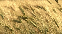 Ripe wheat swaying wind - stock footage