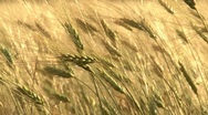 Stock Video Footage of Ripe wheat swaying wind