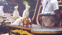 Performing Bird Act PARROTS 1960s Vintage Film 8mm Home Movie Footage 433 - stock footage
