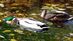 Drake Mallards ducks ucks diving swimming for weeds in morning Stock Footage