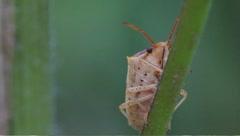 Shield bug (Acrosternum hilare) Stock Footage