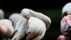Pink flamingo grooming Stock Footage