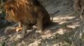 Lion (Panthera Leo), Big Cat Relaxing, Felidae, Wildcat, Predator, The King Footage