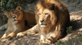 Lion (Panthera Leo), Big Cat Relaxing, Felidae, Wildcat, Predator, The King Footage