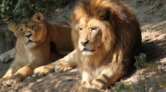 Lion (Panthera Leo), Big Cat Relaxing, Felidae, Wildcat, Predator, The King Stock Footage