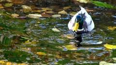 Drake Mallards ducks diving swimming for weeds in morning Stock Footage