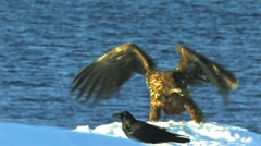 White Tailed Eagle Stock Footage