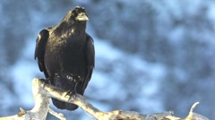 Raven Crow perched on branch Stock Footage