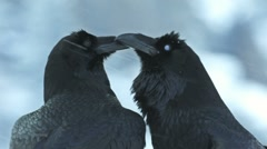 Raven Crow beak courtship - stock footage