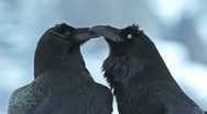 Raven Crow beak courtship Stock Footage