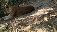 Lion (Panthera Leo), Big Cat Relaxing, Felidae, Wildcat, Predator, The King Stock Footage