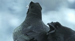 Stock Video Footage of Raven Crow calling courtship audio recording