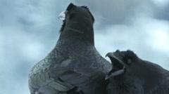 Raven Crow calling courtship audio recording Stock Footage