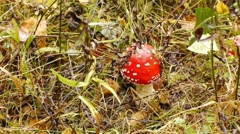 Fly agaric Stock Footage