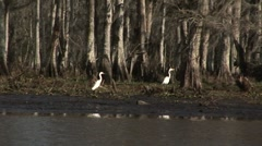 Two White Egrets in Bayou in Louisiana Stock Footage
