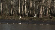 Stock Video Footage of Two White Egrets in Bayou in Louisiana