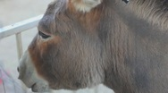 Stock Video Footage of Donkey close up -2