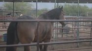 Stock Video Footage of Horses - spotted in the background walking