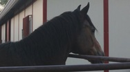 Stock Video Footage of Horses - side profile
