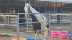 Horses - Palamino is curios Stock Footage