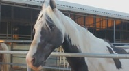Stock Video Footage of Horses - Palamino - scoots off