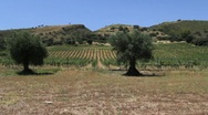 Stock Video Footage of Andalusia olive trees and grapes vines