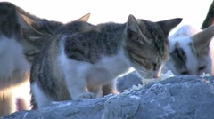 Cats eating Stock Footage
