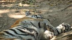 Orange Siberian Tiger (Panthera Tigris Altaica) Amur, Altaic, Ussuri Tiger Stock Footage