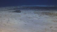 Stock Video Footage of Southern stingray