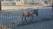 Stock Video Footage of Donkey walking in the corral