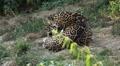 Jaguar (Panthera Onca), Panther in Wilderness, Nature, Close-up HD Footage