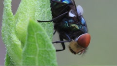 Bluish fly with red eyes Stock Footage