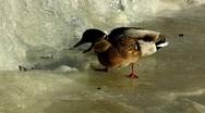 Scandinavia Finland Drake Mallards ducks feeding swimming Stock Footage