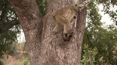 Baboon climbs down tree Stock Footage