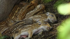 Sleeping wild boar piglets - C.U. Stock Footage