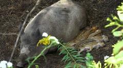 Sleeping wild boar family Stock Footage