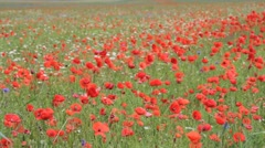 Field of poppies blowing in the wind Stock Footage