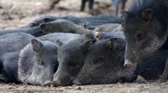 Peccary (javelina) wakes up its congeners Stock Footage