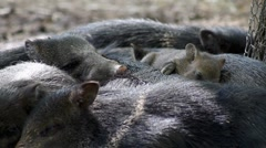 Herd of collared peccary (javelina) sleeping Stock Footage