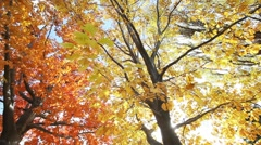 Yellow maple foliage - stock footage