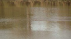 Crocodile swims by - stock footage
