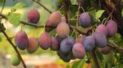 Ripening plums on a tree Stock Footage