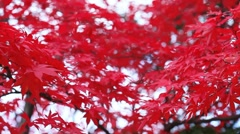 Red maple foliage - stock footage