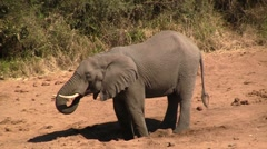 Elephant drinks on dry riverbed Stock Footage