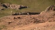 Crocodile in the sun Stock Footage