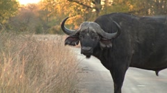 Buffalo with anoying oxpecker Stock Footage