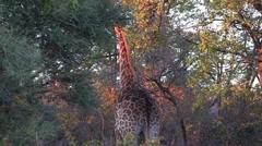 Giraffe walks away Stock Footage