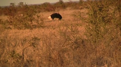 Running ostrich Stock Footage