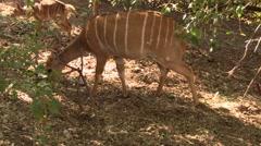 Eating bushbucks Stock Footage